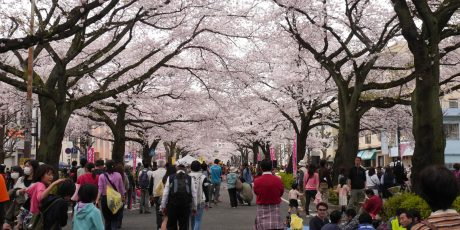 Festumzug unter Kirschblüten – das Hitachi Sakuramatsuri (Leitung: Luise Kahlow)