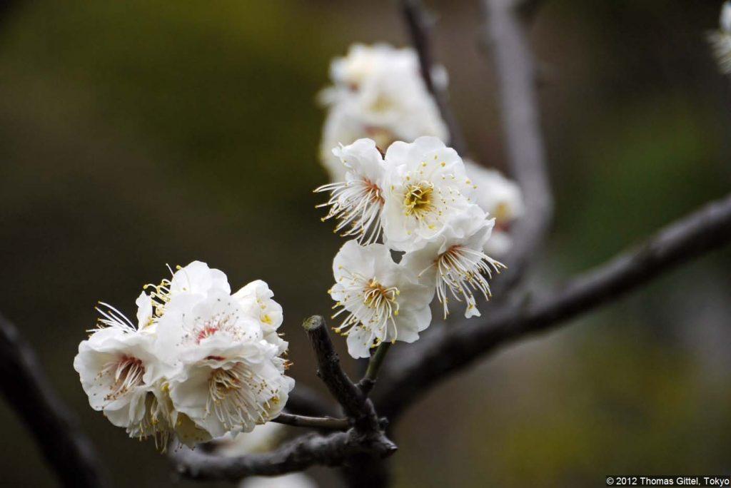 Ikegami Baien (池上梅園) - Besichtigung des Tempels Ikegami Honmon-ji und Spaziergang durch den Pflaumengarten