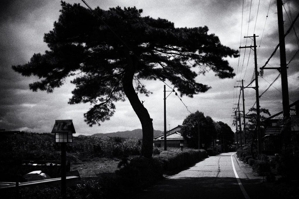 the pine tree