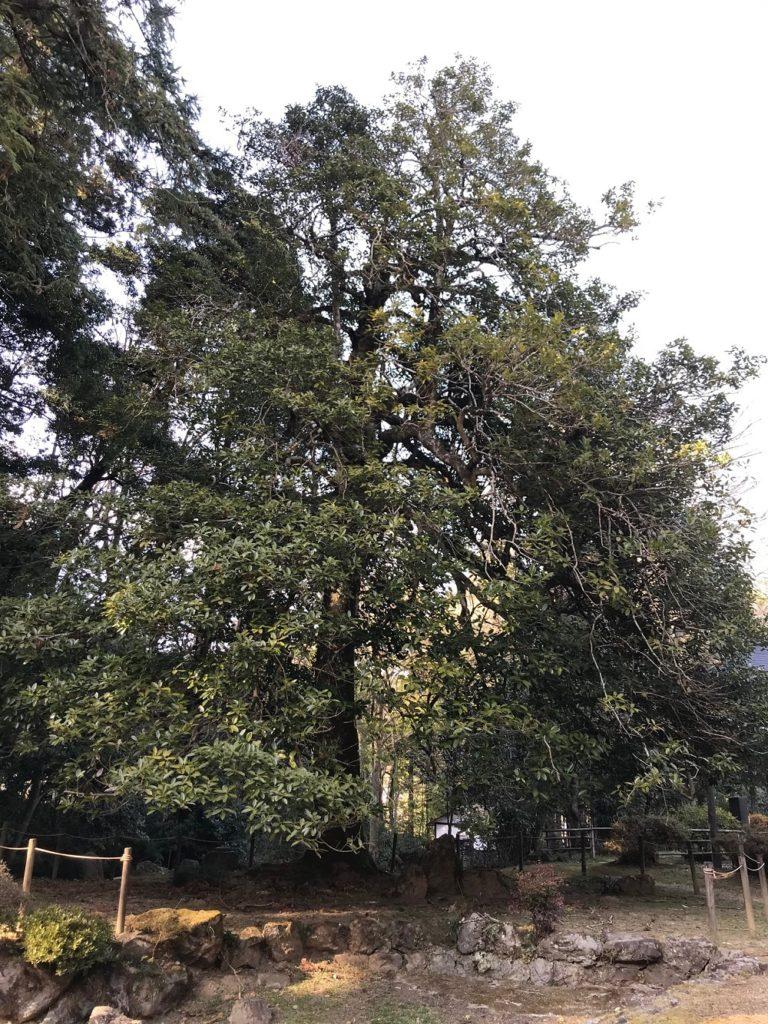 Tarayou oder Ilex latifolia - Frühjahrswanderung 2021, Teil 2